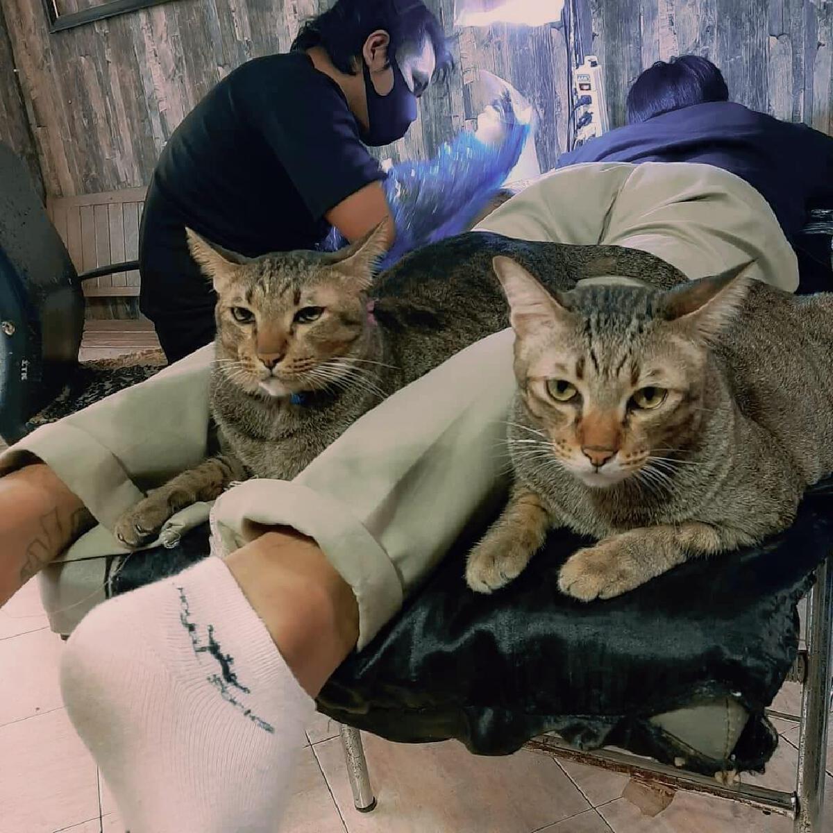 โซเชียลยิ้ม ร้านสักผุดไอเดียเลี้ยงแมวให้มาต้อนรับลูกค้าในร้าน