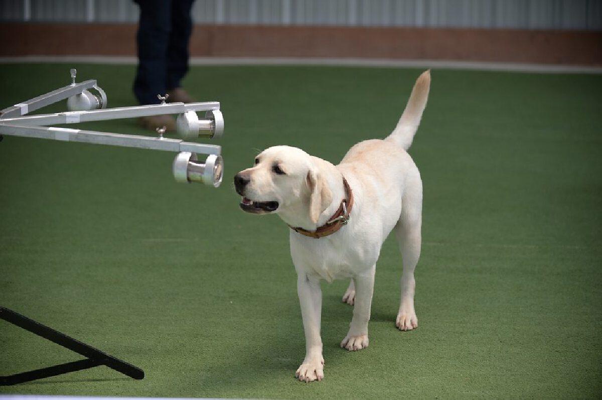 """ครั้งแรกในไทย จุฬาฯ วิจัย """"สุนัขดมกลิ่นหาผู้ติดเชื้อโควิด"""""""