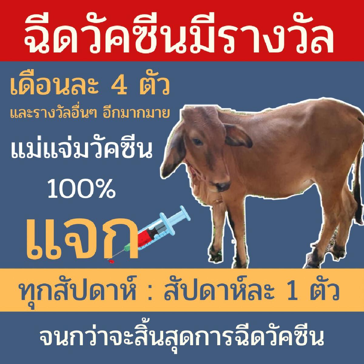 ฉีดวัคซีนแจกลูกวัว