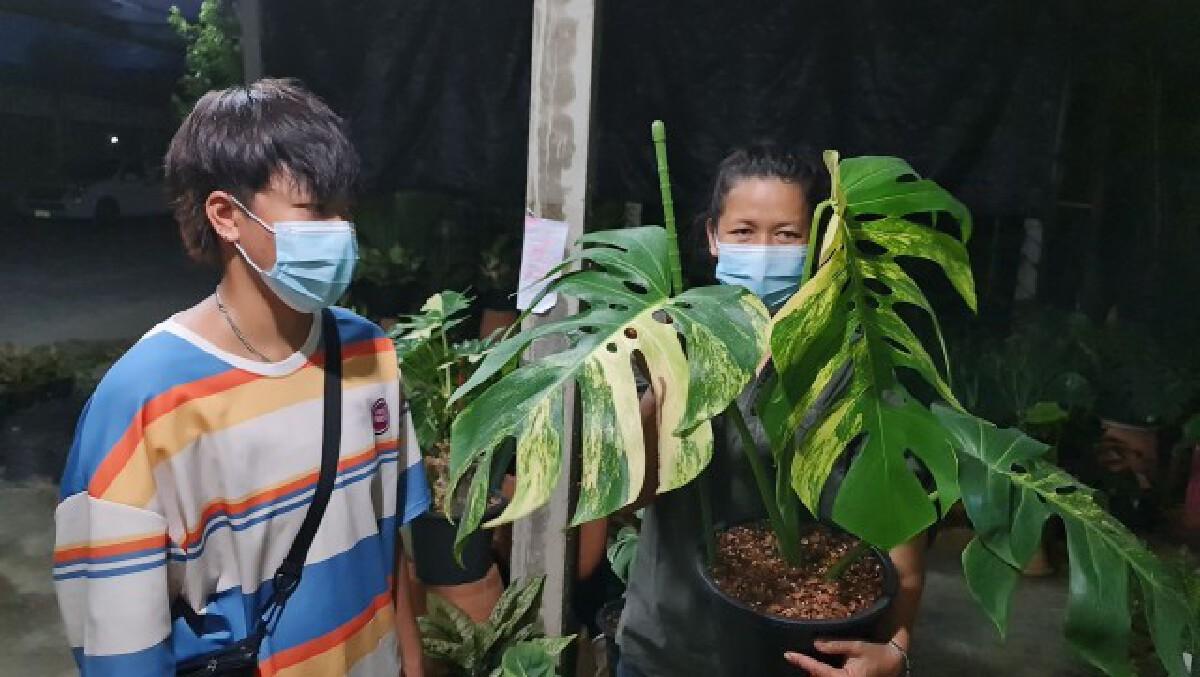 แม่ค้าสาวเมืองพิษณุโลกโพสต์ขายต้นไม้มอนสเตอร่า ได้สูงถึงราคา 1.4 ล้าน