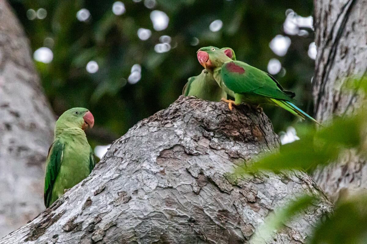 """""""นกแก้วโม่งฝูงสุดท้าย""""  ของอำเภอบางกราย จังหวัดนนทบุรี"""