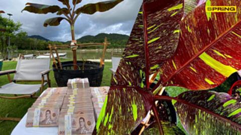 หนุ่มใจถึง ควักเงินสด 10 ล้าน ซื้อกล้วยด่างแดงอินโด