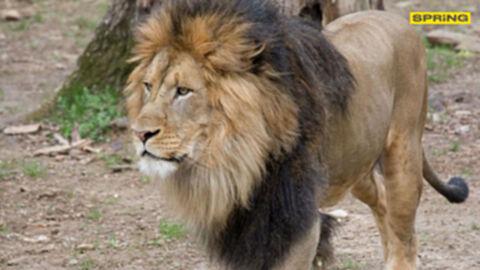 สัตว์ติดโควิด19 อีกแล้ว เป็นเสือและสิงโต